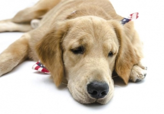 chien qui a la leishmaniose