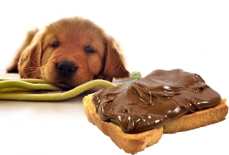 chocolat dangereux pour les chiens