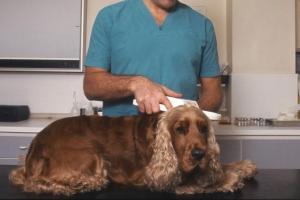 identification chien tatouage ou puce