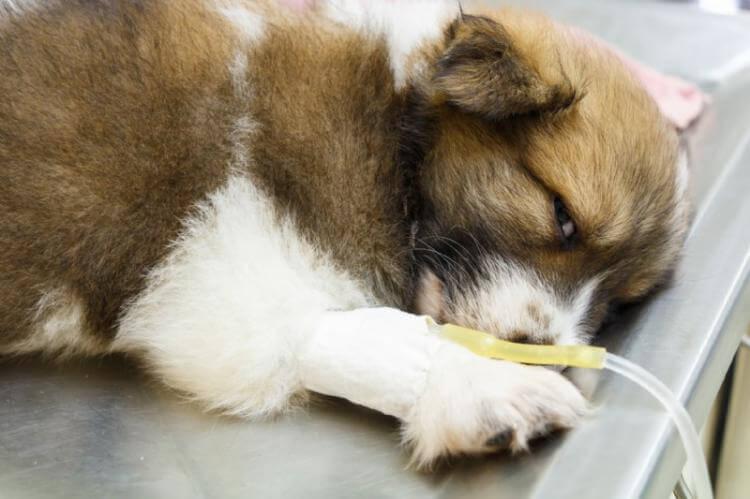 Maladie inflammatoire de l'intestin chez le chien