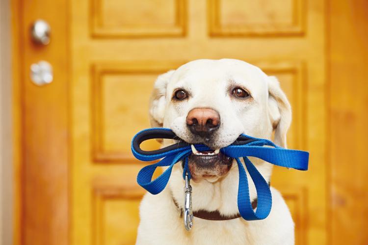 apprendre marche en laisse chien